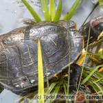 Trachemys scripta elegans – żółw czerwonolicy
