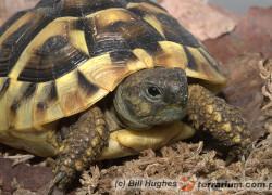 Testudo hermanni – żółw grecki