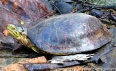 Cuora amboinensis – żółw sundajski