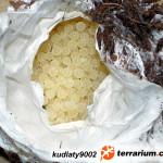Acanthoscurria geniculata – ptasznik białokolanowy – raport rozmnożeniowy 3