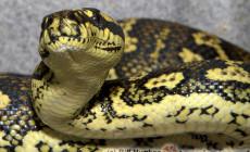 Morelia spilota – pyton rombowy*, pyton dywanowy*