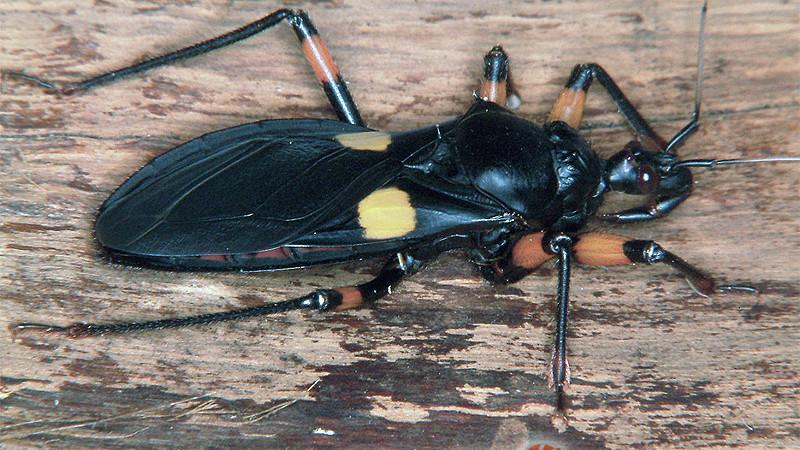 Heteroptera – pluskwiaki różnoskrzydłe