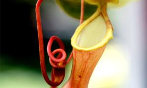 Plantae insectivorae – rośliny owadożerne