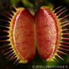 Dionea muscipula - muchołówka amerykańska