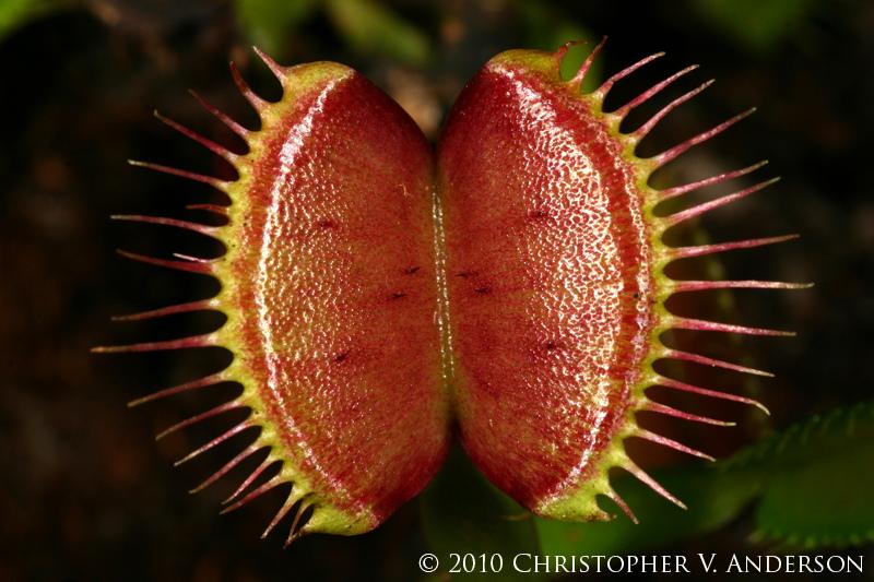 Dionaea muscipula - muchołówka amerykańska