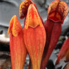 Sarracenia purpurea - kapturnica purpurowa