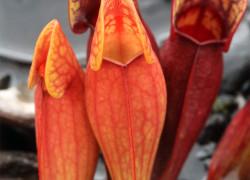 Sarracenia purpurea – kapturnica purpurowa
