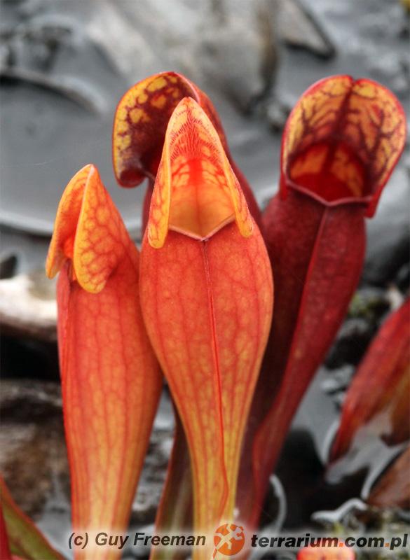 Sarracenia purpurea - kapturnica purpurowa