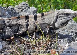 Ctenosaura similis – legwan czarny