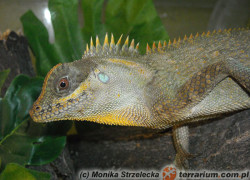 Acanthosaura capra – górska agama rogata*