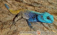 Acanthocercus atricollis – agama niebieskogłowa, agama niebieskogardła