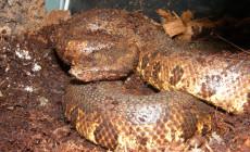 Candoia aspera – boa nowogwinejski