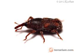 Sitophilus oryzae – wołek ryżowy