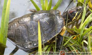 Żółw ozdobny (Trachemys scripta) – nowy podgatunek, czy brak podgatunków?