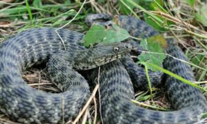 Węże występujące w Polsce