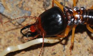 Termity – owady społeczne
