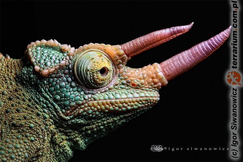 Trioceros jacksonii merumontana - kameleon Jacksona