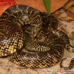 Lampropeltis floridana – lancetogłów florydyjski