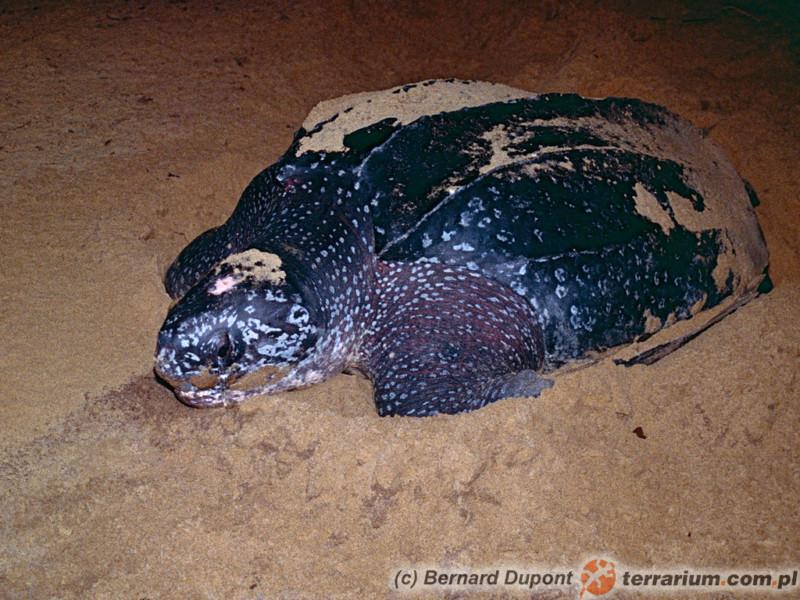 Dermochelys coriacea - żółw skórzasty - samica składająca jaja