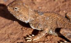 Trapelus mutabilis – agama pustynna, agama niebieskogardła*