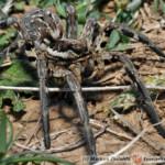 Lycosa tarantula – tarantula włoska