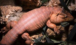 Tupinambis rufescens – teju czerwony