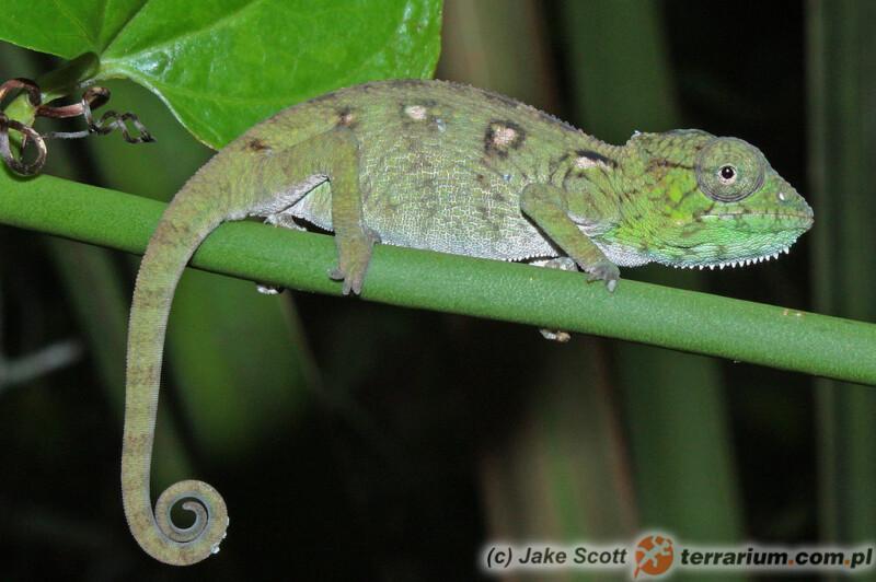 Furcifer oustaleti - kameleon olbrzymi