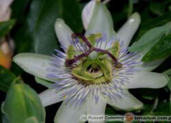 Passiflora caerulea – męczennica błękitna