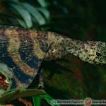 Draco spp. – drako latające, smoki latające