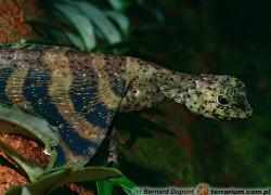 Draco spp. – drako latające