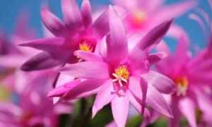 Rhipsalidopsis, Epiphyllum, Schlumbergera – kaktusy bożonarodzeniowe
