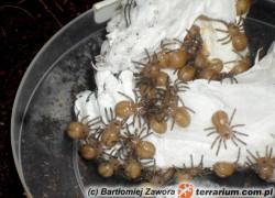 Poecilotheria tigrinawesseli – raport rozmnożeniowy