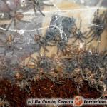 Poecilotheria metallica – raport rozmnożeniowy