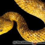 Atheris squamigera – gałęźnica szorstkołuska