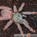 Tapinauchenius elenae