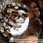 Poecilotheria vittata – raport rozmnożeniowy
