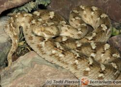 Echis carinatus – efa piaskowa