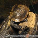 Chelodina mccordi – żółw wężoszyi (McCorda)*