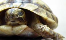 Heksamitaza żółwi