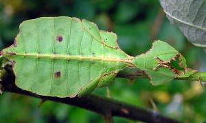 Phyllium ericoriai – liściec karbowany*