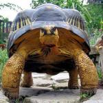 Układ symbiotyczny żółwi promienistych (Astrochelys radiata) z… kim?