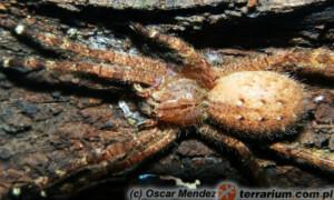 Phoneutria fera – wałęsak brazylijski*