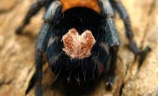 Nowe gatunki z rodzaju Cyriocosmus (Theraphosidae)
