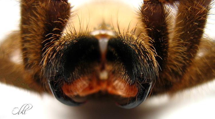 Chelicery - Avicularia laeta