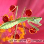 Sphodromantis gastrica – modliszka gwinejska*