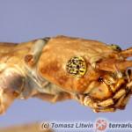 Phaenopharos khaoyaiensis – patyczak czerwonoskrzydły