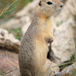 Urocitellus (Spermophilus) richardsonii – suseł Richardsona