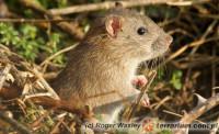[Świat] Dzień Szczura i Myszy