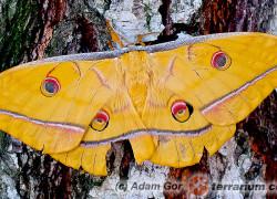 Antheraea yamamai – japoński jedwabnik dębowy*