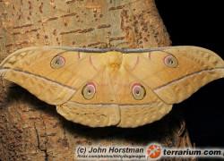 Antheraea pernyi – chiński jedwabnik dębowy